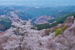 yoshinosan, cherry blossoms, nara, japan