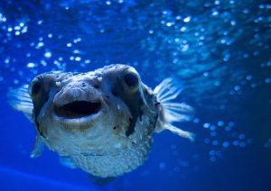 blowfish, hugu, huku