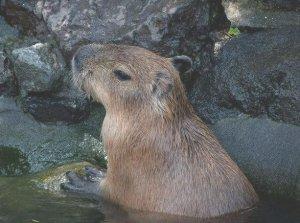 capybara onsen 2