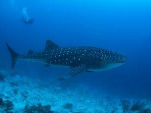 whale shark, Kaiyukan, Osaka aquarium, Japan