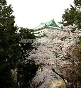 Cherry blossoms, Nagoya castle, Nagoya, Japan