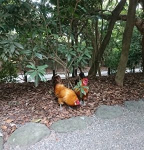 Chickens, Atsuta Shirine, Atsuta Jingu, Nagoya, Japan