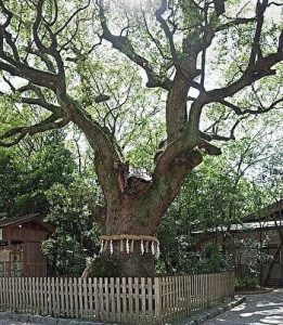 The sacred Kusunoki tree, the scared camphor tree, the scared big snake living, Atsuta Shrine, Nagoya, Japan