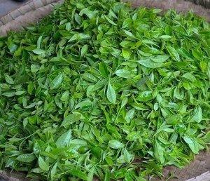 green tea leaves, Japan