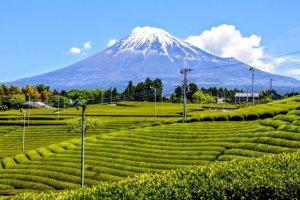 shizuoka, tea, green tea, Japan