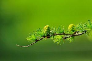 coniferous trees, flat leaves, corns