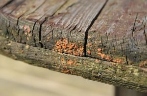 wood-decay fungus, tree, old
