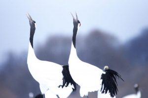 Japanese crane, a pair of a red-crown crane, birds