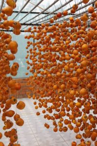 homemade dried persimmons, hoshigaki, drying persimmons