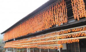 orange curtain, the nostalgic scenery in Japan, making dried persimmons