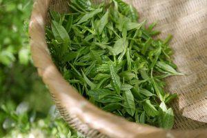 green tea, shin-cha, Ichiban-cha